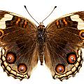 Butterfly Species Junonia Orithya  by Pablo Romero
