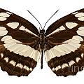 Butterfly Species Neptis Hylas  by Pablo Romero