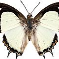 Butterfly Species Polyura Jalysus by Pablo Romero