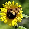Butterfly Sunflower by Ben Upham III