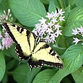 Butterfly - Swallowtail by Pamela Critchlow