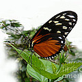 Butterfly  by Tom Conway