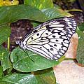 Butterfly by Valerie Jean Schafer