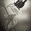 Butterfly Warm Black And White by Bradley R Youngberg