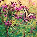 Butterfly Wildflower by Eric  Schiabor