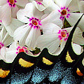 Butterfly Wing And Phlox by Duane McCullough