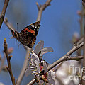 Butterfy In Almond Blossoms   #9289 by J L Woody Wooden