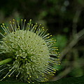 Buttonbush by Kimberly Mohlenhoff