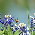 Buzzing The Bluebonnets 02 by Robert ONeil