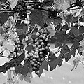 Bw Hanging Thompson Grapes Sultana Poster Look by Sally Rockefeller