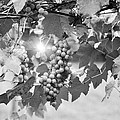 Bw Lens Flare Hanging Thompson Grapes Sultana by Sally Rockefeller
