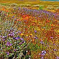 Ca Poppies And Goldfields And Lacy Phacelia And Sage In Antelope Valley Ca Poppy Reserve-california by Ruth Hager