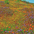 Ca Poppies And Goldfields And Lacy Phacelia In  Antelope Valley Ca Poppy Reserve-california  by Ruth Hager