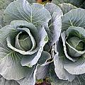 Cabbage Duo by Cynthia Wallentine