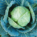 Cabbage Painterly by Andee Design