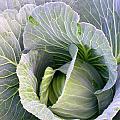 Cabbage Still Life by Cynthia Wallentine