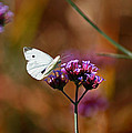 Cabbage White Butterfly In Fall by Karen Adams