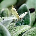 Cabbage White Butterfly In Flight by Karen Adams