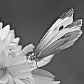 Cabbage White Butterfly On Cosmos - Black And White by Mother Nature