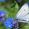 Cabbage White Butterfly On Forget-me-not by Sharon Talson