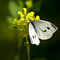 Cabbage White Butterfly On Yellow Flower by Christina Rollo
