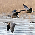 Cackling Geese Flying by Anthony Mercieca
