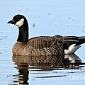 Cackling Goose In Water by Anthony Mercieca