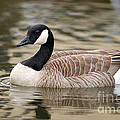 Cackling Goose by Sharon Talson
