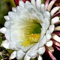 Cacti Flora by Deb Halloran