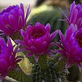 Cacti Flower Bouquet  by Saija  Lehtonen