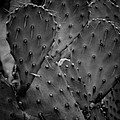 Cactus 5264 by Timothy Bischoff