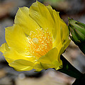 Cactus Bloom by Todd Hostetter