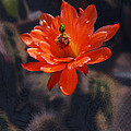 Cactus Blossom 1 by Xueling Zou