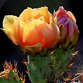 Cactus Blossom by C Ray  Roth