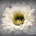 Cactus Bloom by Arne Hansen