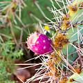 Cactus Flower by Jamie Heeke