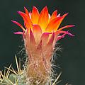 Cactus Flower by Jaroslav Frank