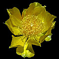 Cactus Flower by Susan Duda