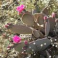 Cactus Flowers by Deborah Smolinske