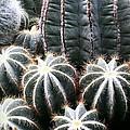 Cactus Glistening by Marlene Williams