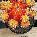 Cactus Orange by Mark Victors