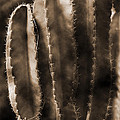 Cactus Sepia Tone Panama by Greg Kluempers