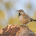 Cactus Wren On Rock by Bryan Keil