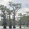 Caddo Lake Cypress Trees by Donna Wilson