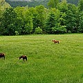 Cades Cove Horses by Todd Hostetter