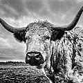 Cadzow White Cow by John Farnan