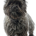 Cairn Terrier Dog by Jean-Michel Labat