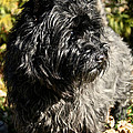 Cairn Terrier Portrait by Susan Herber