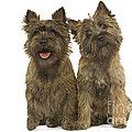 Cairn Terriers by Jean-Michel Labat