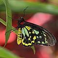 Cairns Birdwing Butterfly by Bill Dodsworth